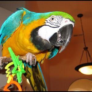 Accessories - My bird-baby, Tequila Sunrise!