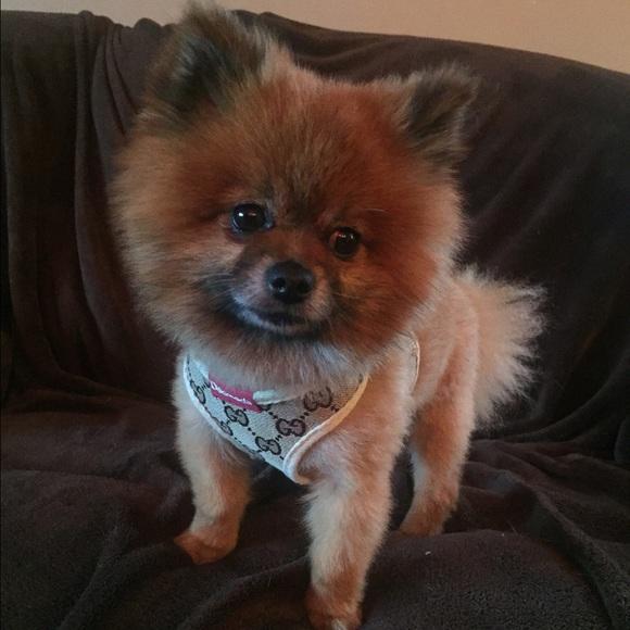 4adae8200e1d4f Gucci Accessories - GUCCI dog harness