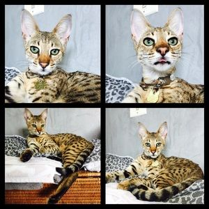 Savannah cat F2 her grandpa is a Serval NWT