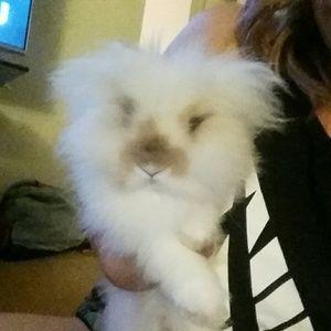 Other - NOT 4 SALE. ..Meet Sancho, my lionhead bunny!