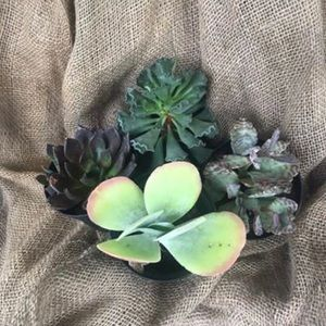 Other - Gorgeous succulents $7 each or 4/$20
