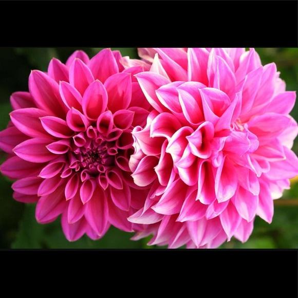 pinkdahlias